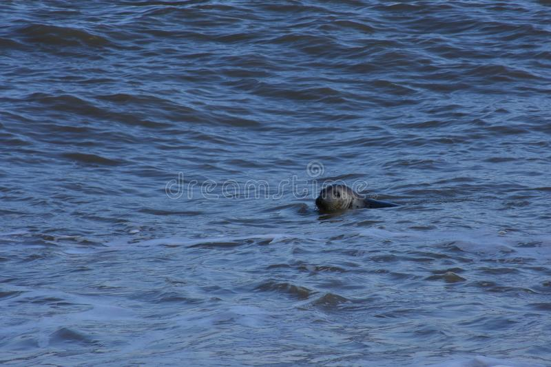 Seal Swimming off coast, Winterton-on-Sea, Norfolk, UK stock image
