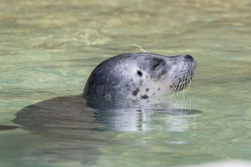 Seal swimming on water stock photos