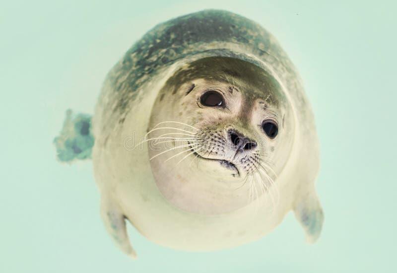 Seal Underwater Free Public Domain Cc0 Image
