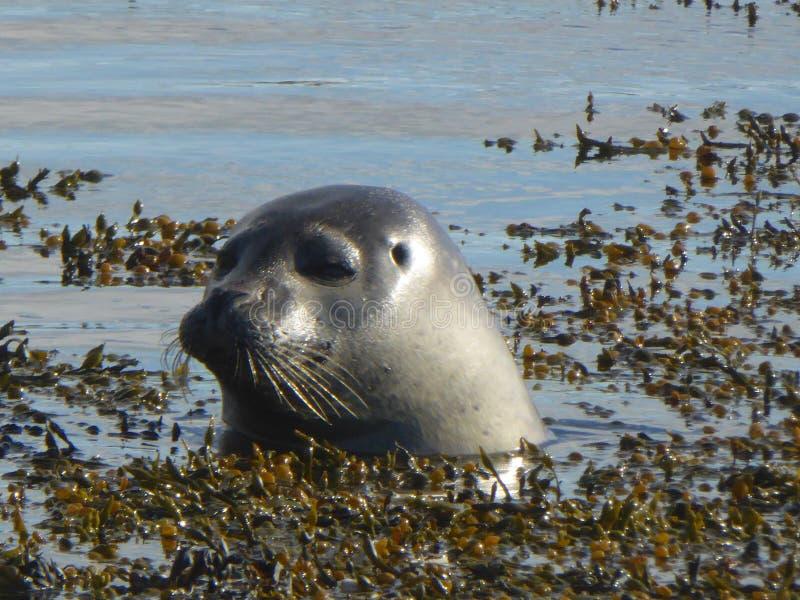 Seal Vatnsnes Peninsula Iceland royalty free stock photography