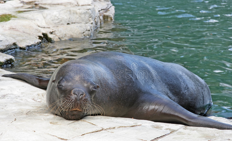 Seal in zoo royalty free stock images