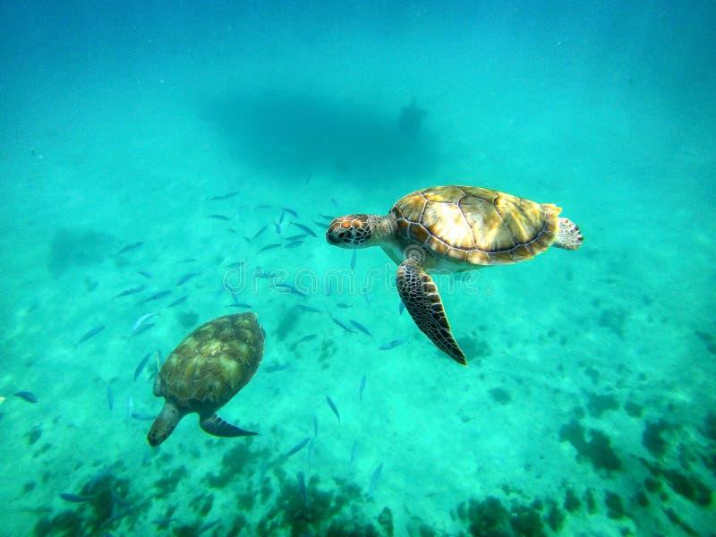 Sealife Meeresschildkröten, die unter Wasser schwimmen stockfotos