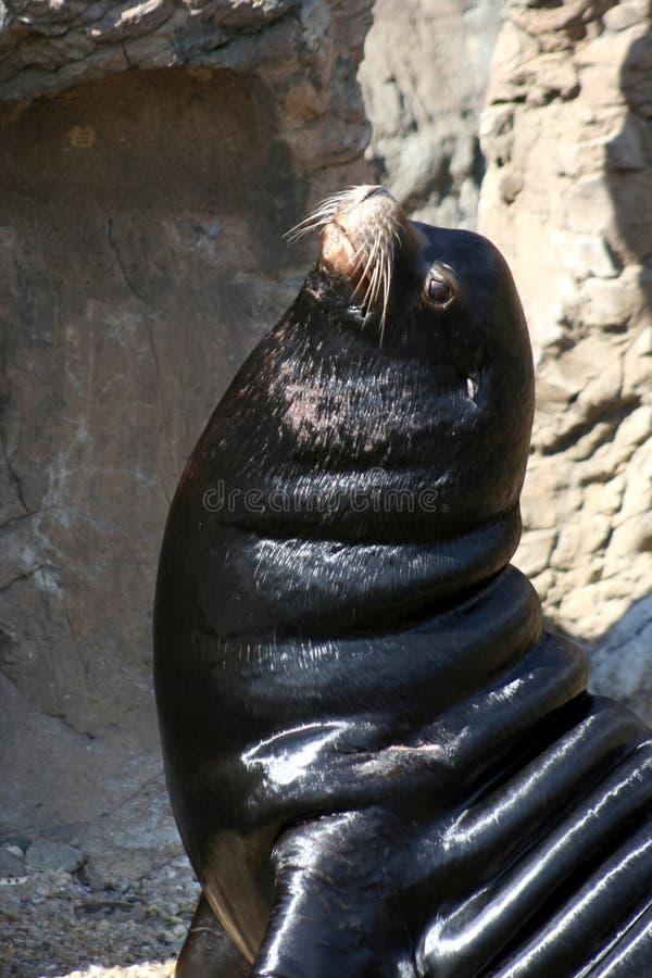 Download Sealion-3 imagem de stock. Imagem de preguiçoso, wildlife - 534085