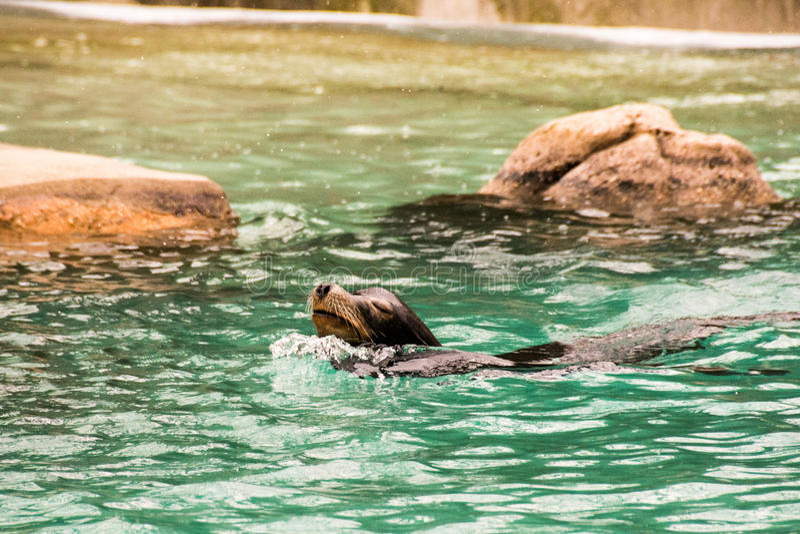 Sealion at Bronx Zoo royalty free stock photo
