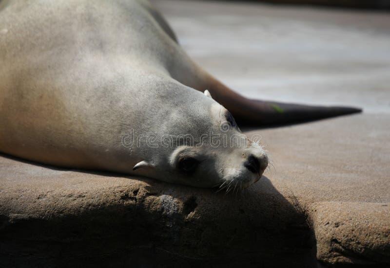 Sealion odpoczywa w słońcu fotografia royalty free