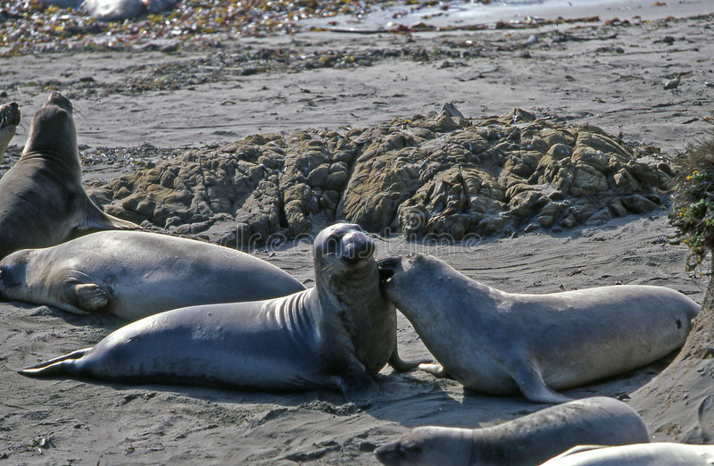 Download Sealions getting friendly stock image. Image of beach - 7416717