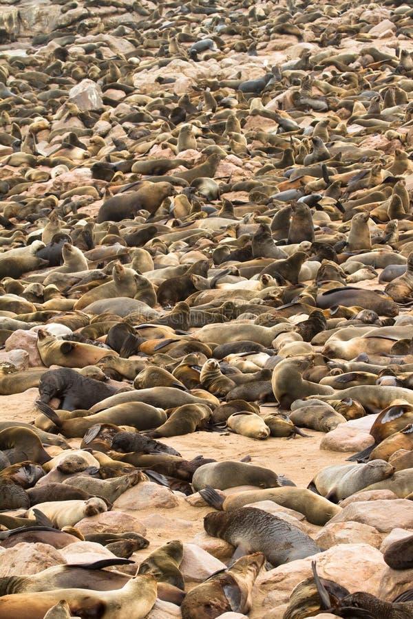 Download Seals stock image. Image of atlantic, otariid, many, coastline - 17926329