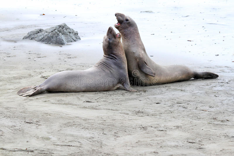 Download Seals stock photo. Image of huge, buckskinman, gray, newborn - 29558766