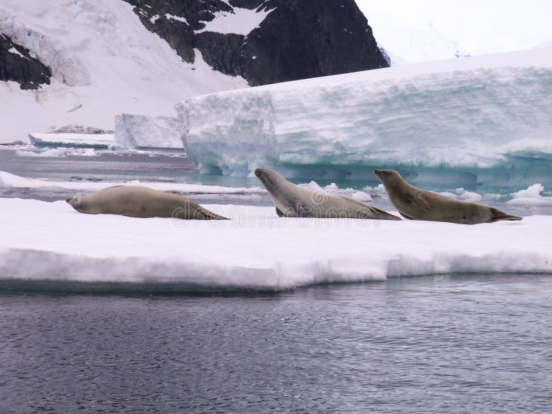 Download Seals in Antarctica stock image. Image of iceberg, resting - 2537751