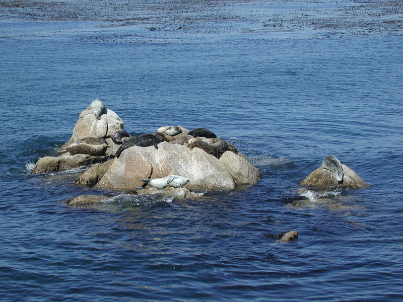 Download Seals in the Bay stock image. Image of nature, coast, monerey - 107321