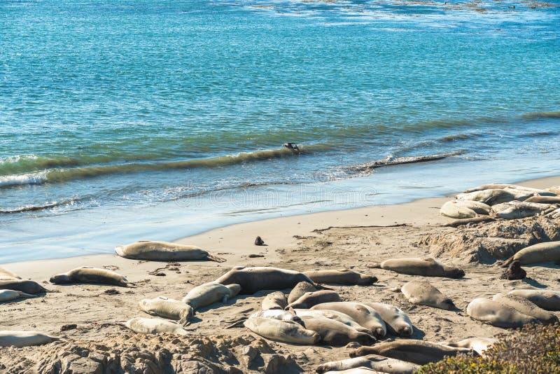 Seals on the beach. Seal colony, California Coastline royalty free stock photography