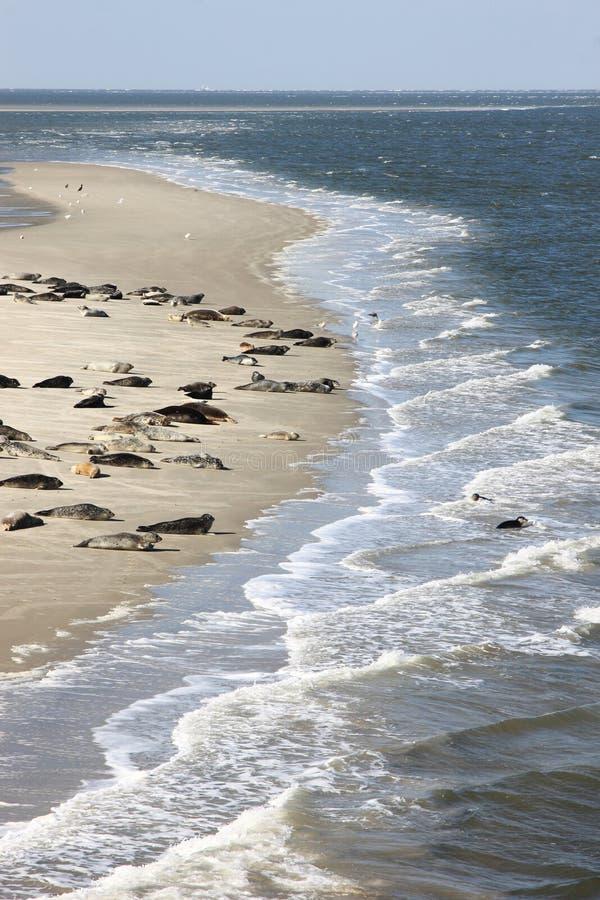 Seals bench between dutch islands Terschelling and Ameland stock images