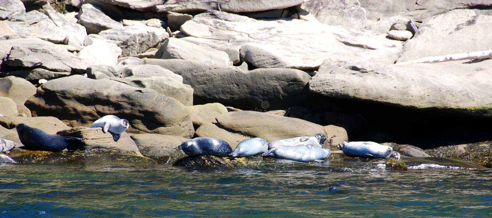 Seals colony on sea shore Gaspe. Gaspesie Quebeanada stock photography