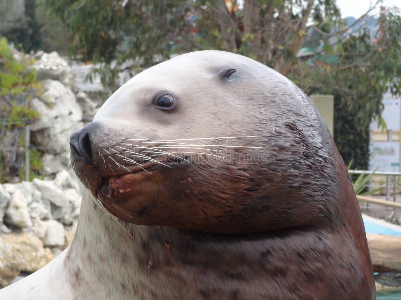 Seals, Fauna, Mammal, Harbor Seal stock image
