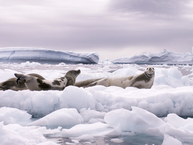 Seals and Icebergs royalty free stock photos