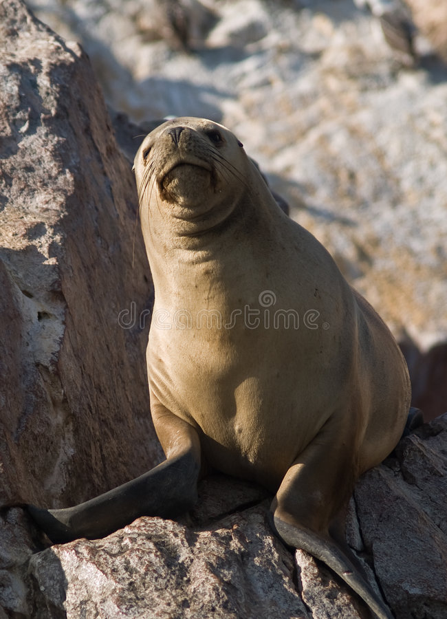 Seals on Islas Ballestas in Peru royalty free stock photography