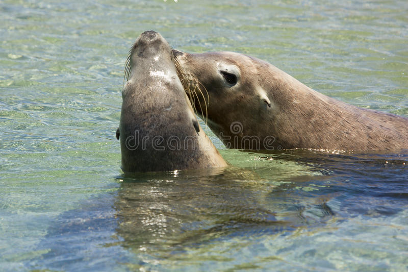 Seals kissing royalty free stock photos