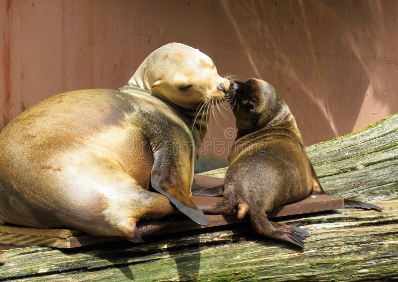 Seals, Mammal, Fauna, Harbor Seal royalty free stock photo