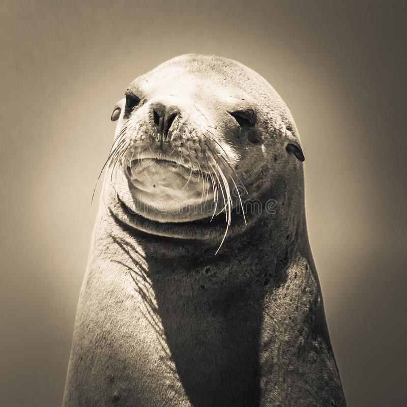 Seals, Mammal, Fauna, Harbor Seal royalty free stock images