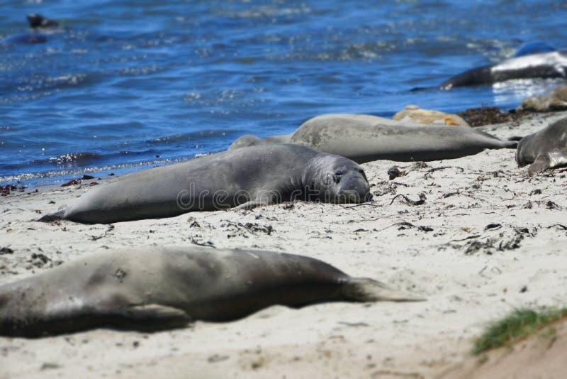 Seals, Mammal, Marine Mammal, Fauna royalty free stock image
