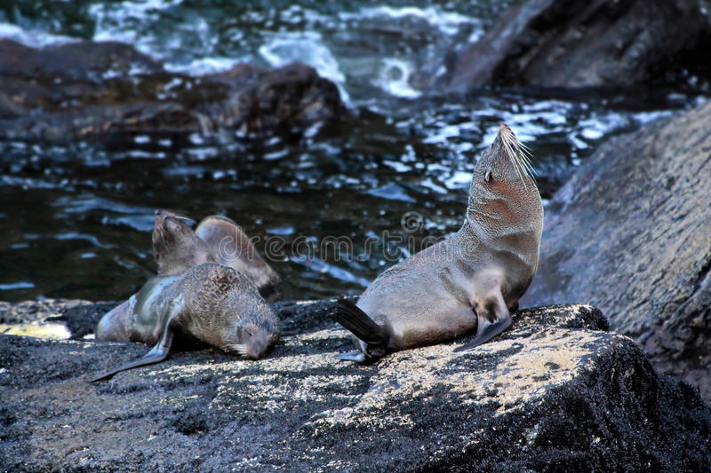 Seals in the Milford Sound. Southland, South island, New Zealand royalty free stock photo