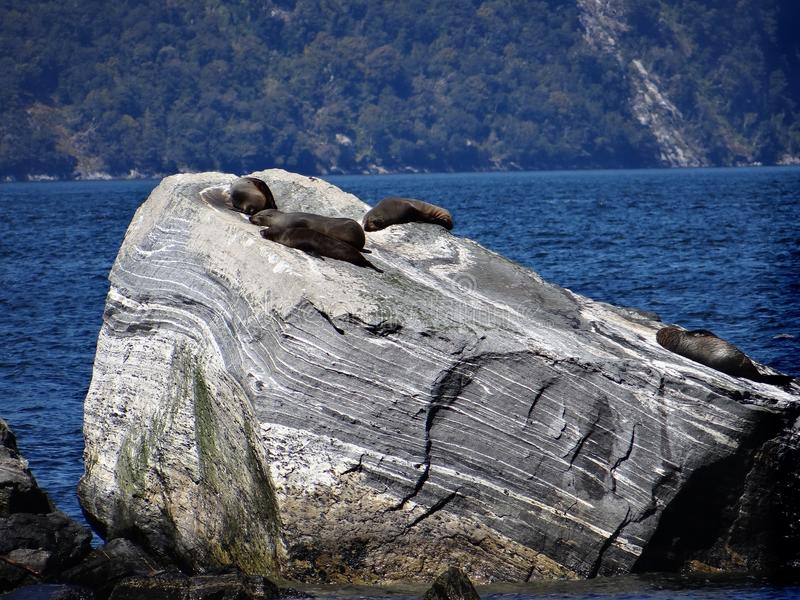 Seals of Milford Sound. Seals lying on a rock in Milford Sound, New stock photo