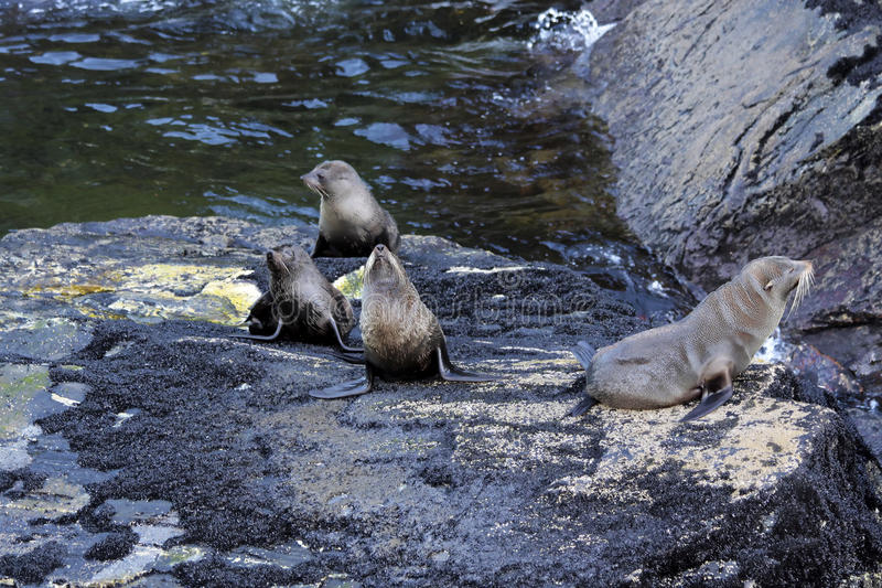 Seals in the Milford Sound. Southland, South island, New Zealand stock photo