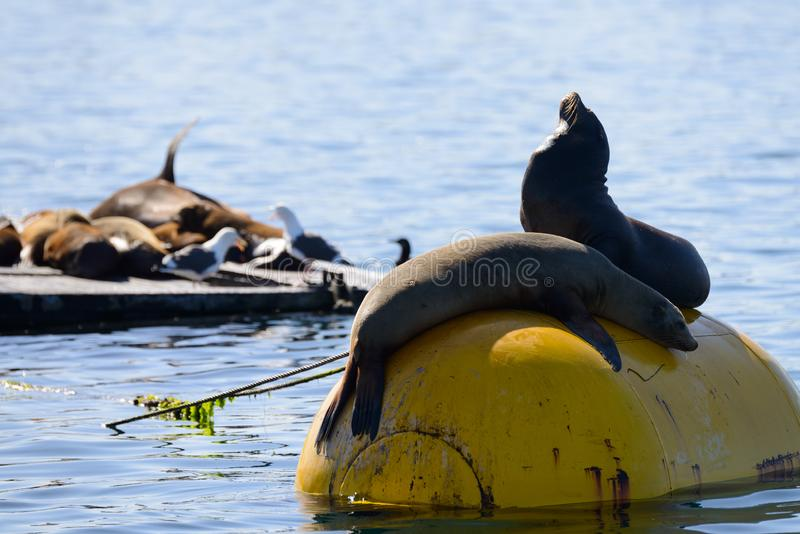Seals in Mission Bay San Diego, California. Resting on a buoy stock photography