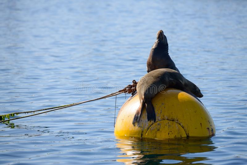 Seals in Mission Bay San Diego, California. Resting on a buoy royalty free stock images