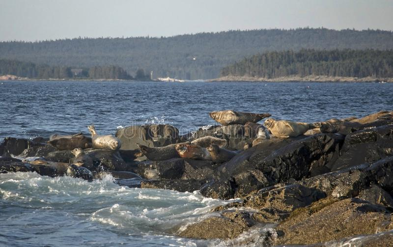 Seals off the Coast of Bar Harbor Maine in Crashing Waves. Seals off the Coast of Bar Harbor Maine stock images