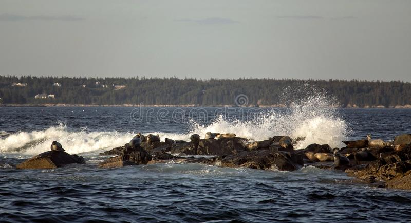 Seals off the Coast of Bar Harbor Maine in Crashing Waves. Seals off the Coast of Bar Harbor Maine stock image