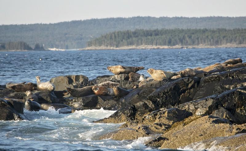 Seals off the Coast of Bar Harbor Maine in Crashing Waves. Seals off the Coast of Bar Harbor Maine royalty free stock photography