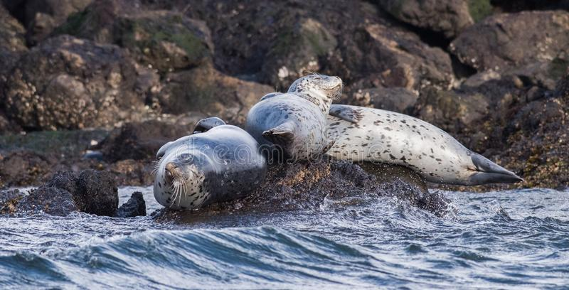 Seals in the Pacific Ocean. Group of Seals on rocks in the pacific Ocean stock photo