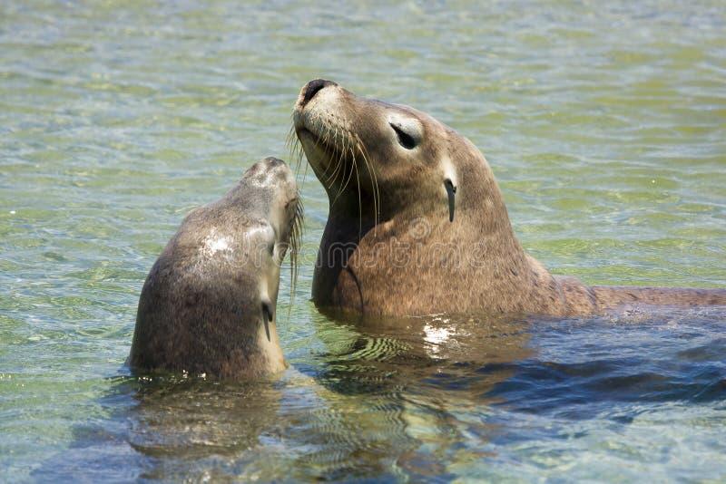 Seals playing stock image