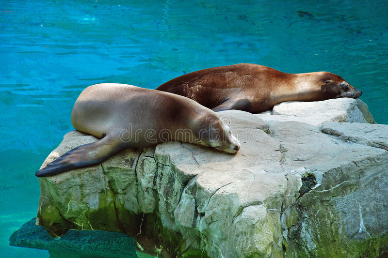 Download Seals Relaxing On The Stone Stock Photo - Image: 16801250