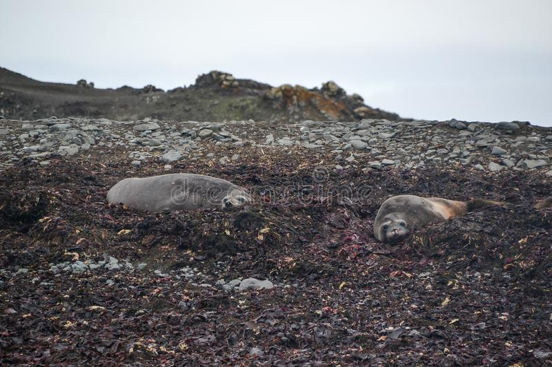 Seals resting on an Antarctic shore stock image