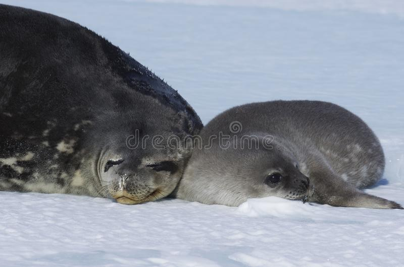 Seals - ringed seal Pusa hispida, lying in the snow on a sunny day and looking at the camera. Close-up. Antarctic royalty free stock photo