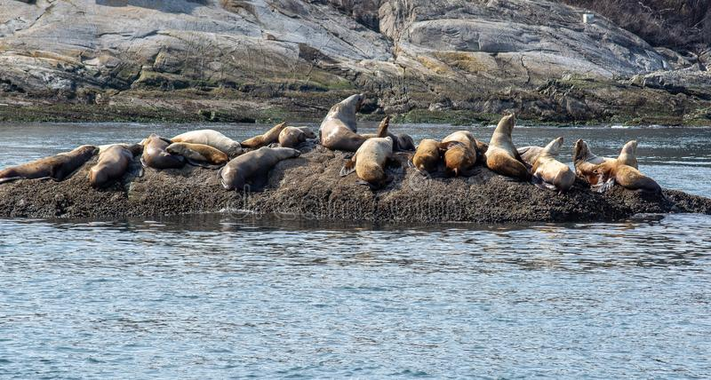 Seals on a rock in the ocean. Seals on a rock in the pacific ocean, basking in the sun royalty free stock photo