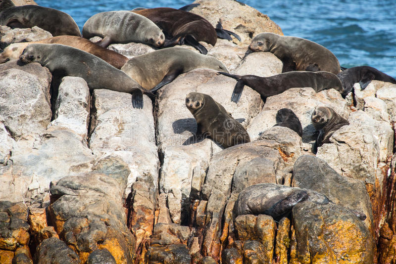 Seals on a rock. In South Africa royalty free stock photo