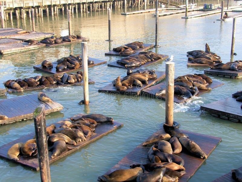 Seals at San Francisco stock photography