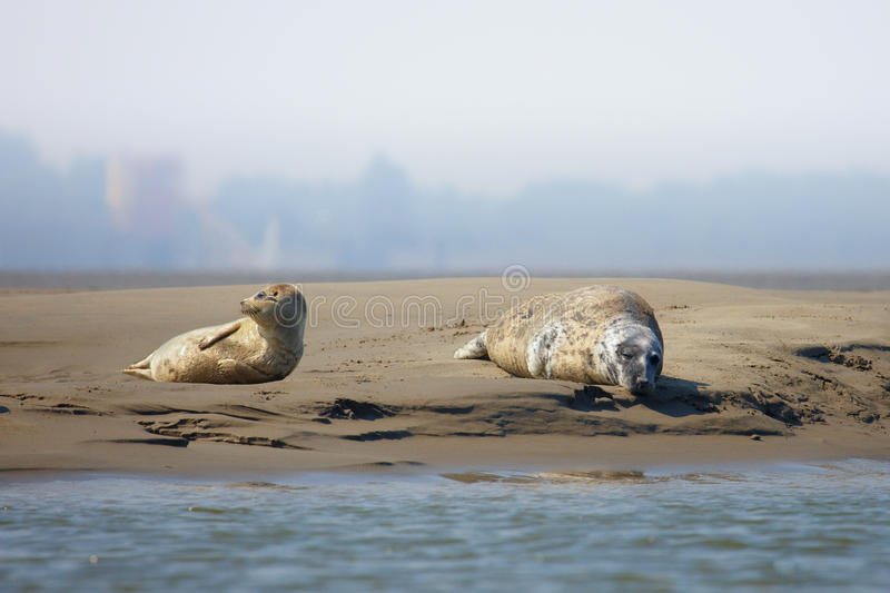 Download Seals On A Sandbank In The Middle Of A River Stock Photo - Image: 19291898