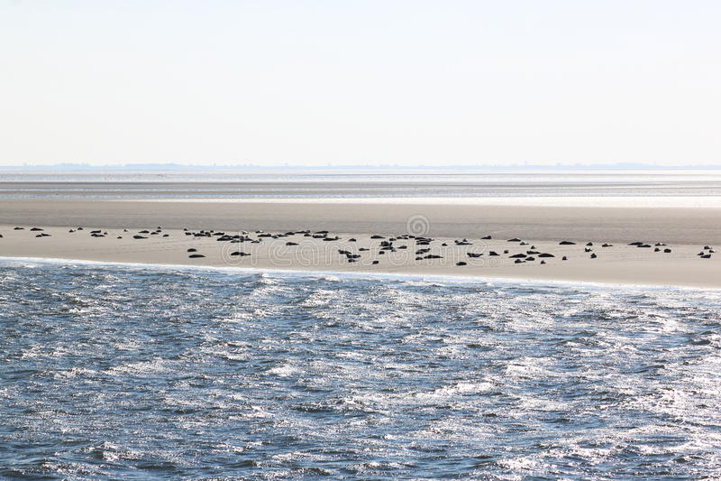 Seals upon sandbank between Terschelling and Ameland royalty free stock photo