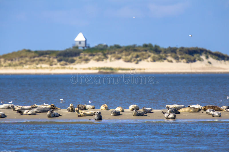 Seals on a sandbank in the wadden sea stock photo