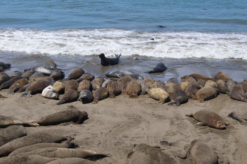 Seals Sunbathing in San Simeon, California stock photography