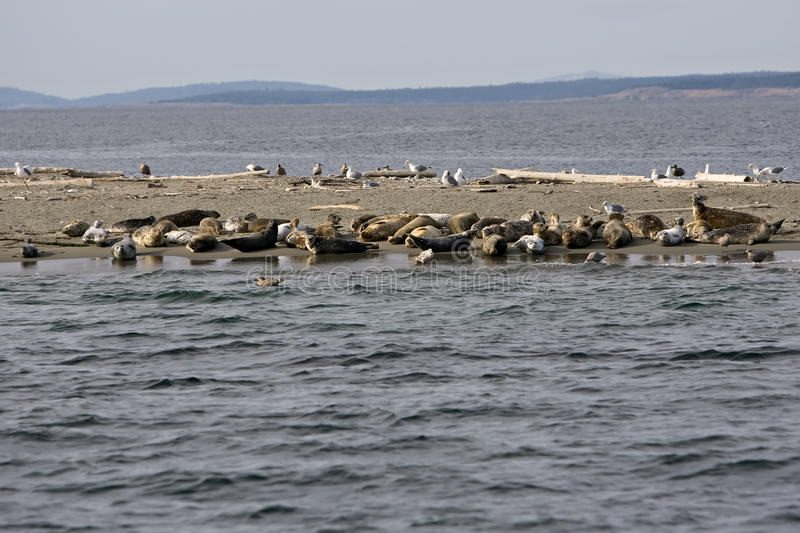 Download Seals With Their Pups On Minor Island Stock Image - Image: 11156935