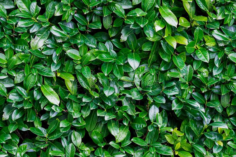 Seamless background of green laurels bay leaf natural. Fence fragment stock image