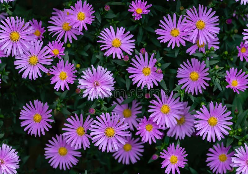 Seamless flower pattern with purple aster on green leaves. Natural floral photo background royalty free stock photos
