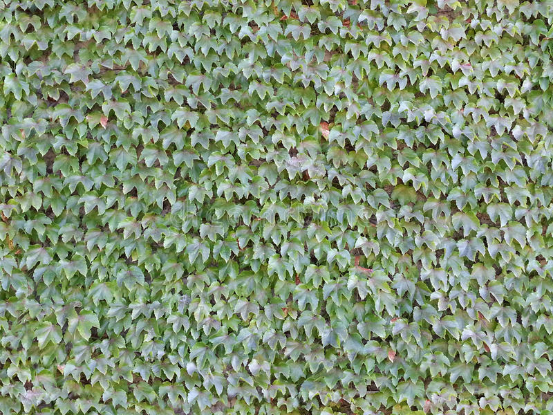 Seamless Ivy Wall Background Tile. This image is a seamless background tile, so that you can resize it to any size you prefer and it will still tile in the stock photos