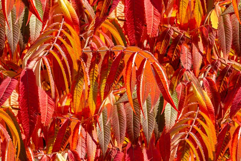 Seamless natural photo background with autumn leaves of the Rhus typhina Staghorn sumac royalty free stock photo