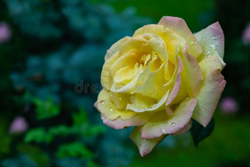 Seamless natural photo background with  beautiful yellow rose Gloria Dei after rain on blurred background garden. Seamless natural photo background with stock photos